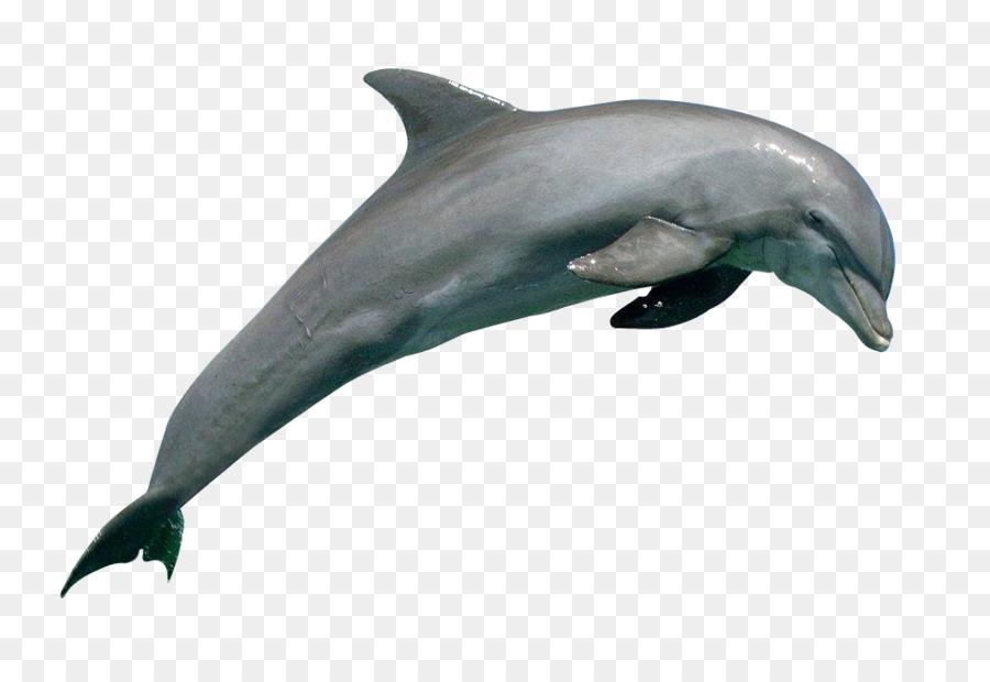 Common bottlenose dolphin Rough.