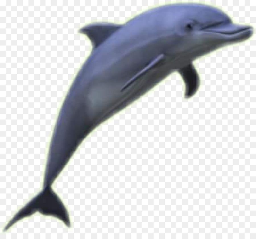 Common bottlenose dolphin Clip art Whales Cetaceans.