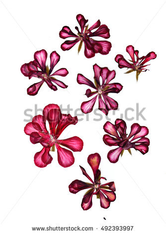 Translucent Flower Stock Photos, Royalty.