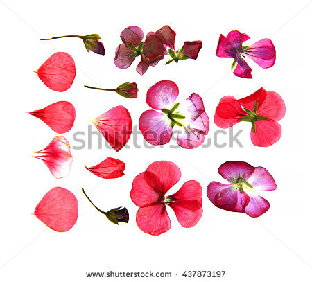 Pelargonium Isolated Stock Photos, Royalty.
