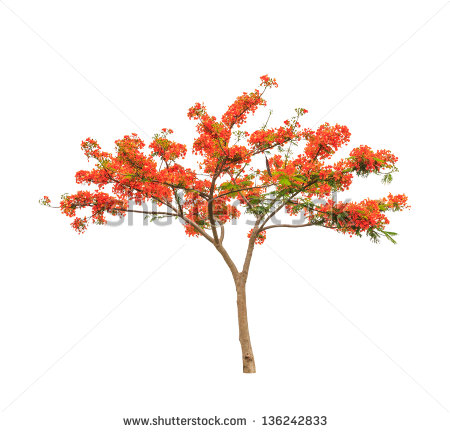 Vector Images, Illustrations and Cliparts: Royal Poinciana or.