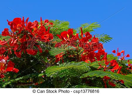 Stock Photography of Flamboyant, Delonix regia.