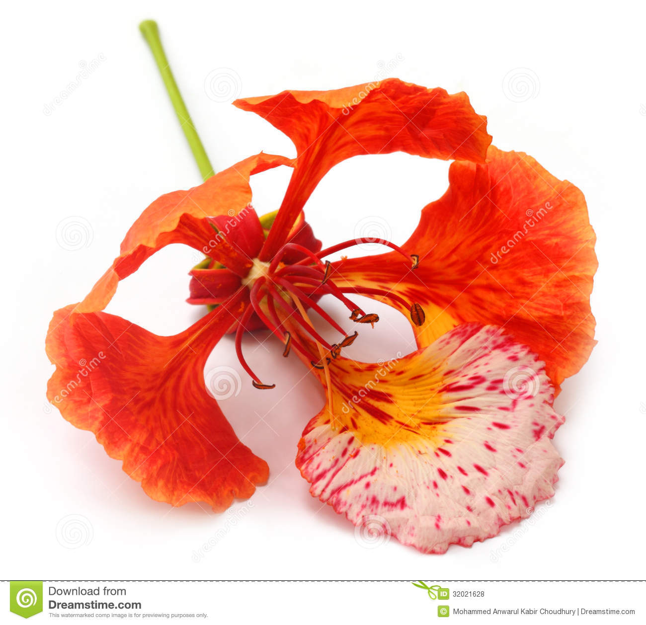Delonix Regia Spring Stock Illustration.