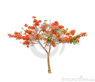 Delonix Regia (Royal Poinciana) Seed Stock Image.