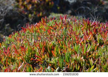 Common Ice Plant Stock Photos, Royalty.