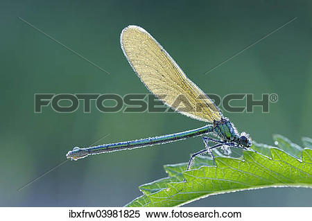 "Stock Image of ""Banded Demoiselle (Calopteryx splendens), female."