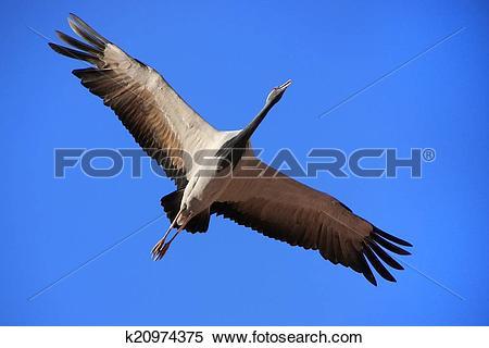 Stock Image of Demoiselle crain (Anthropoides virgo) flying in.
