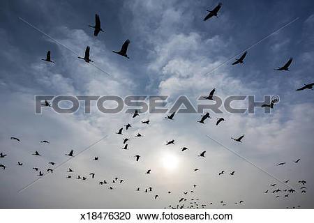 Stock Photography of demoiselle cranes in flight, Khichan, India.