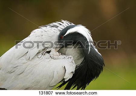 Picture of Demoiselle crane.