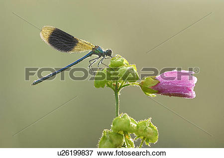 Picture of Demoiselle, animal, calopteryx, blackwing, banded.