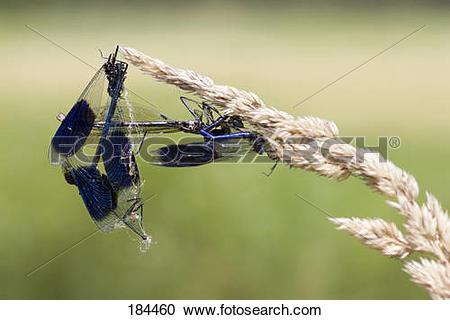 Stock Photography of Banded Demoiselle (Calopteryx splendens.