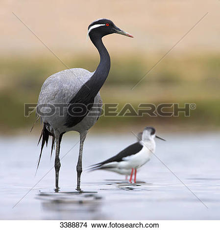 Stock Photo of Demoiselle Crane (Anthropoides virgo) and Black.