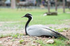 Demoiselle Crane Bird Sitting Stock Photos.
