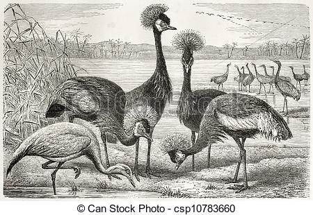 Stock Illustration of Black Crowned Crane and Demoiselle Crane.