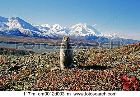 Stock Photo of Ground squirrel in front of Mt McKinley Denali.