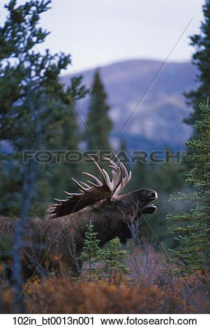 Stock Photography of Bull Moose Calling Forest Denali National.