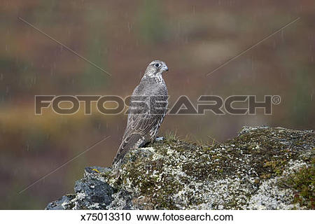 Stock Photography of Gyrfalcon, Denali National Park, Alaska.