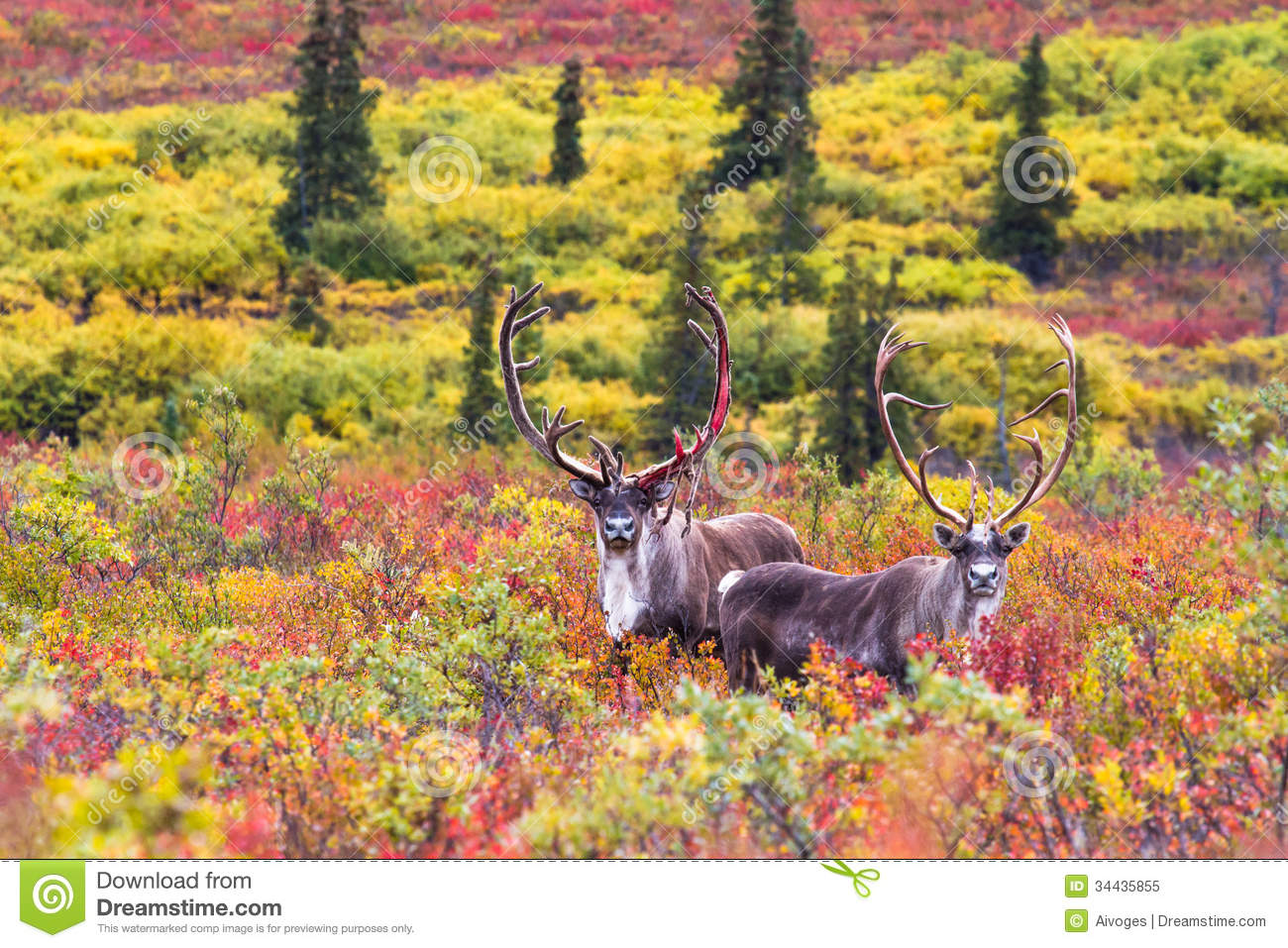 A Pair Of Caribou In Autumn In Denali National Park In Alaska.