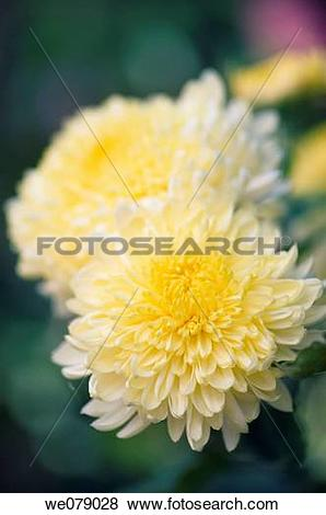 Pictures of Yellow Decorative Chrysanthemum Flowers. Dendranthema.