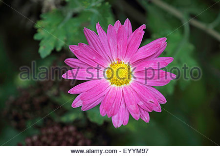 Chrysanthemum Stock Photos & Chrysanthemum Stock Images.