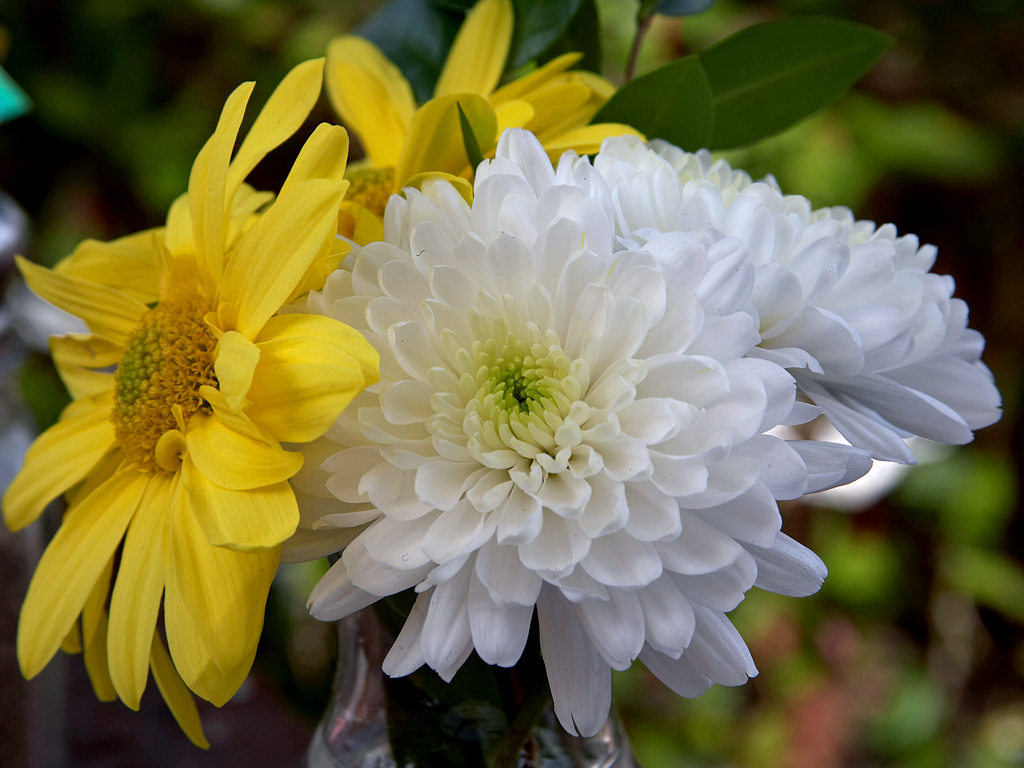 Chrysanthemum.