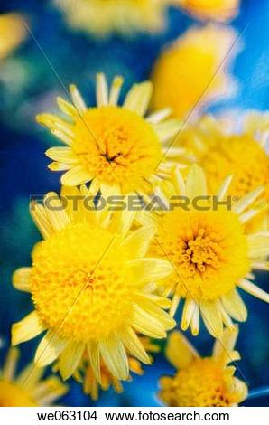 Stock Photo of Yellow Chrysanthemums. Dendranthema grandiflora.