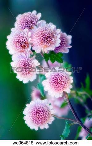 Pictures of Pink Anemone Chrysanthemums. Dendranthema grandiflora.