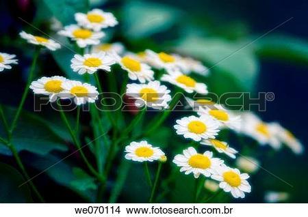 Dendranthema grandiflorum clipart #15