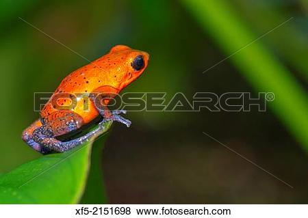 Pictures of Dart Poison Frog, Blue Jeans, Oophaga pumilio.
