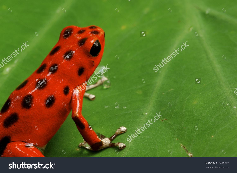 Strawberry Poison Dart Frog Dendrobates Pumilio Stock Photo.