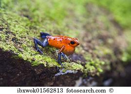 Dendrobatidae Stock Photo Images. 110 dendrobatidae royalty free.