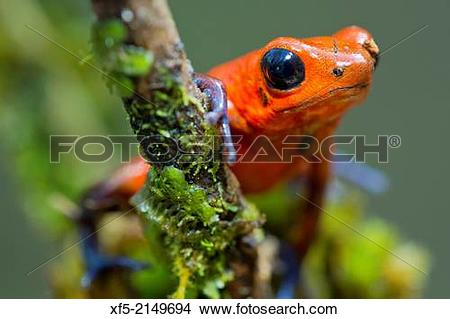 Stock Photo of Dart Poison Frog, Blue Jeans, Oophaga pumilio.