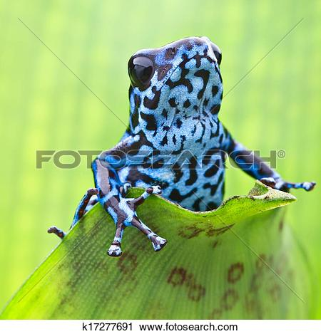 Stock Photography of Dendrobates pumilio Colubre k17277691.