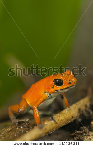 Dendrobates Pumilio Stock Photos, Royalty.