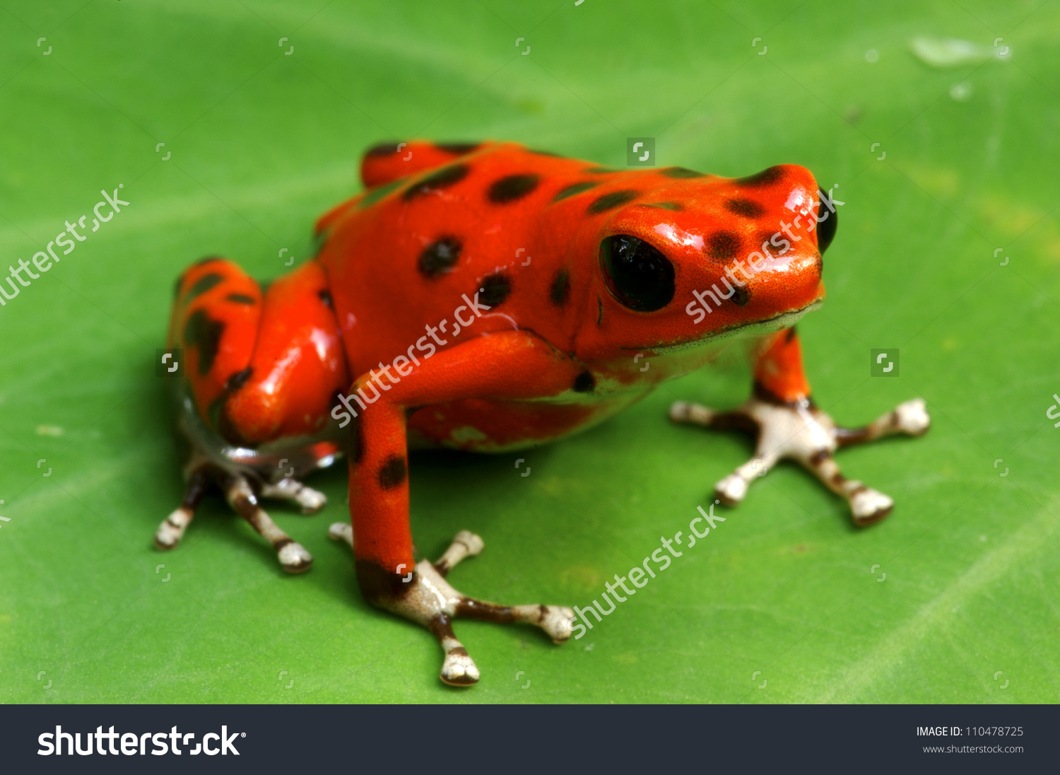 Strawberry Poison Dart Frog Dendrobates Pumilio Stock Photo.