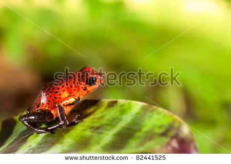 Red Dart Frog Stock Photos, Royalty.