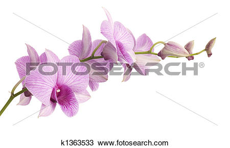 Stock Photo of pink dendrobium orchid isolated on white background.