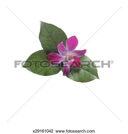 Stock Photo of Dendrobium Orchid x29161042.