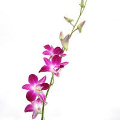 Orchid 20clipart.