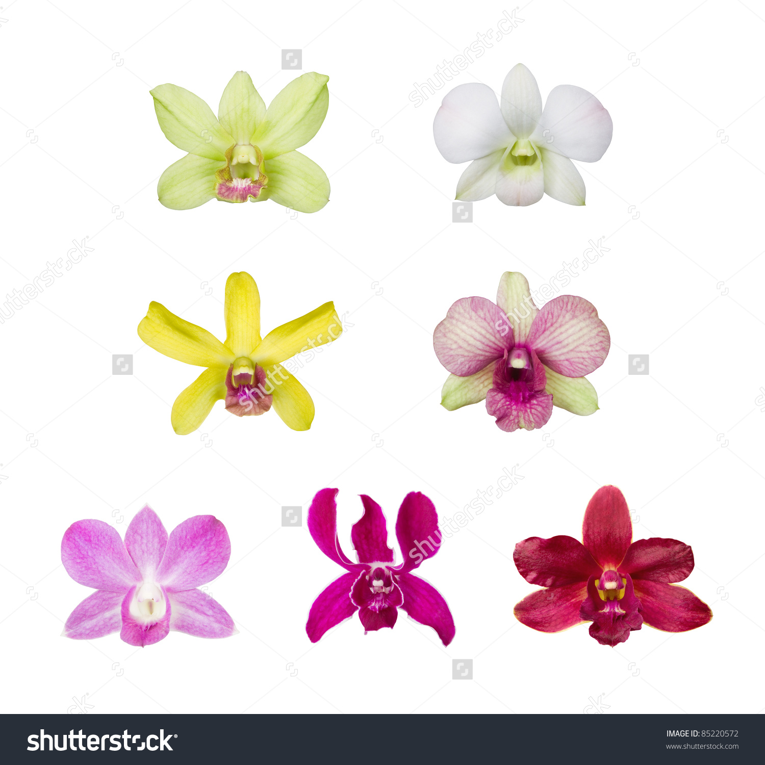 Orchid Flower Blossom Collection Isolated On White Background.