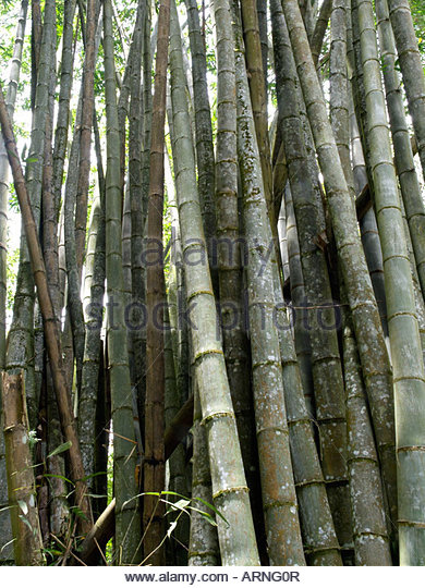 Trunks Of Bamboo Plants Stock Photos & Trunks Of Bamboo Plants.