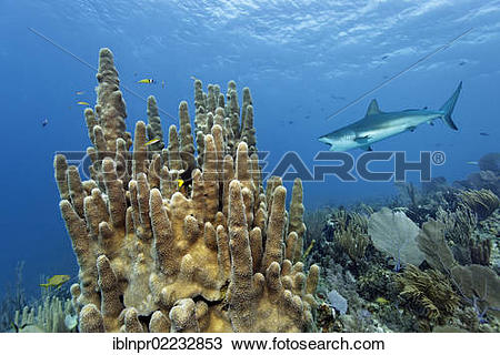 "Stock Photo of ""Pillar coral (Dendrogyra cylindrus), Caribbean."