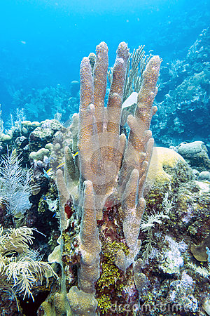 Pillar Coral (Dendrogyra Cylindricus) Stock Photography.