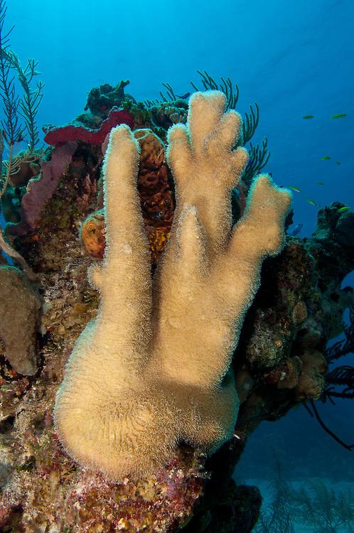 Pillar Coral Dendrogyra cylindricus, Turks & Caicos.