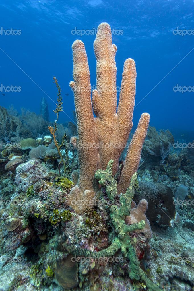 Coral reef Pillar corals (Dendrogyra cylindricus) — Stock Photo.