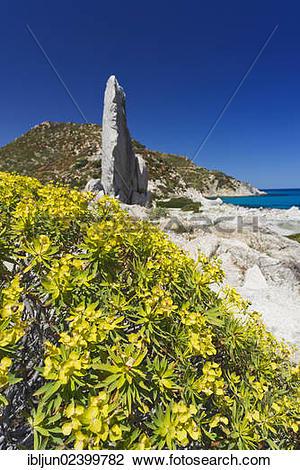 "Stock Photo of ""Tree Spurge (Euphorbia dendroides), on the beach."