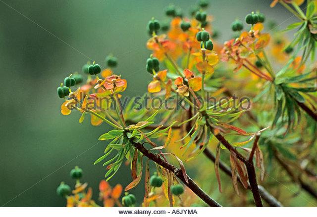 Euphorbia Succulent Green Leaves Stock Photos & Euphorbia.