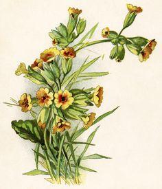 broom flower, cytisus scoparius, yellow flower printable, vintage.