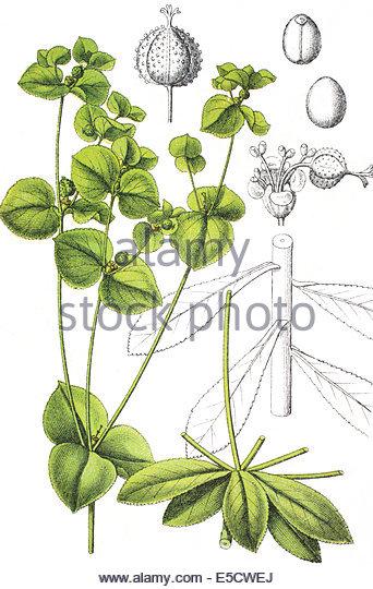 Euphorbia Platyphyllos Stock Photos & Euphorbia Platyphyllos Stock.