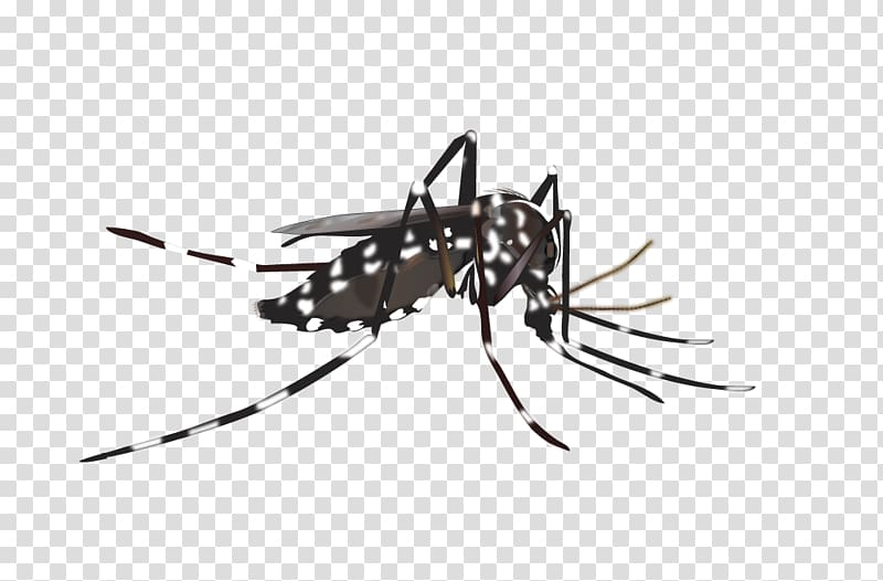 Black and white mosquito illustration, Yellow fever mosquito Insect.